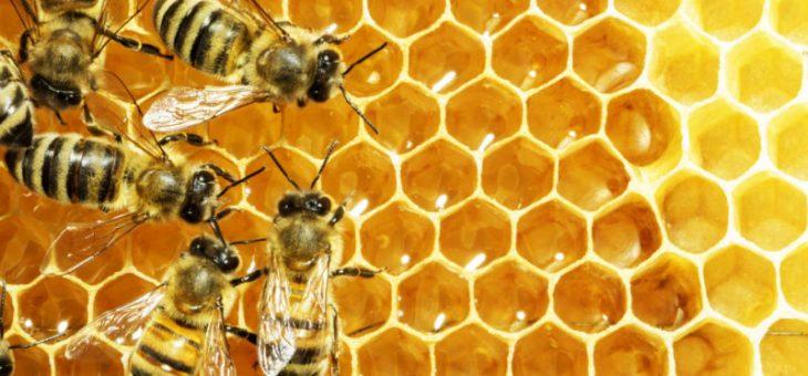 Мед пчелы могут помочь объяснить, как люди принимают решения