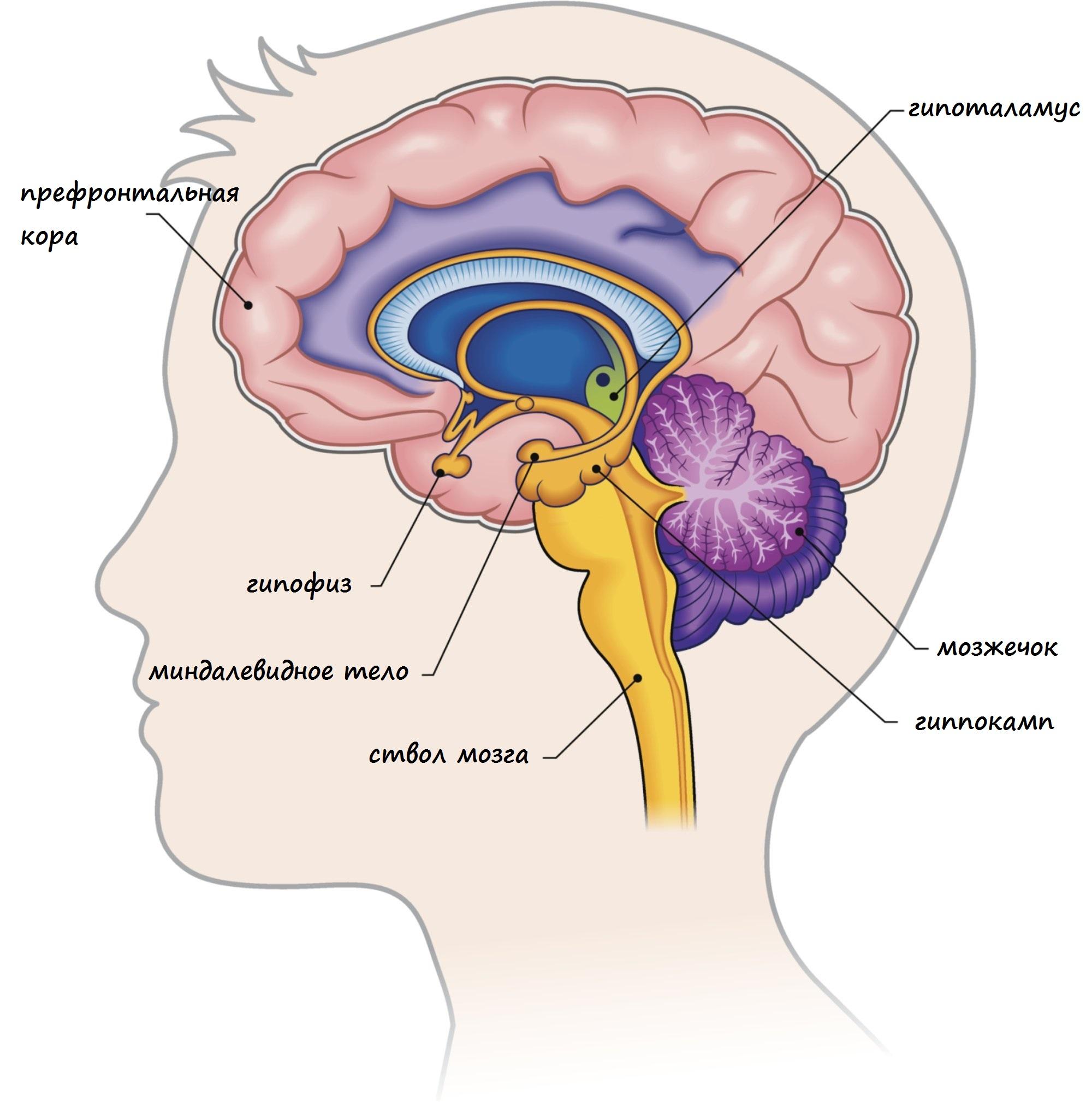 расположение гиппокампа