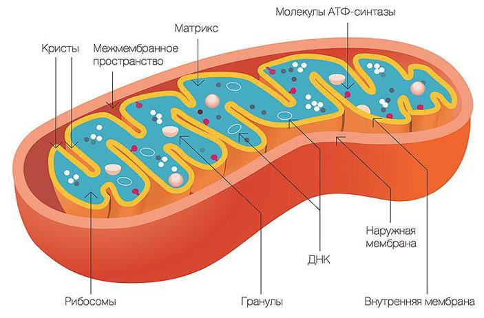 Структура митохондрий