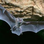 Летучие мыши предлагают ключи к лечению COVID-19