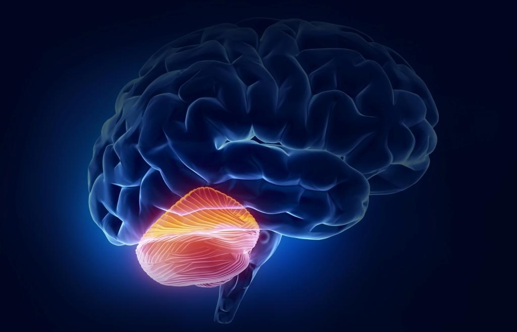 «Маленький мозг» или мозжечок не так уж и мал