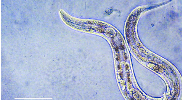 Работа с белками аскариды дает надежду на антивозрастные препараты